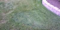 Bentgrass